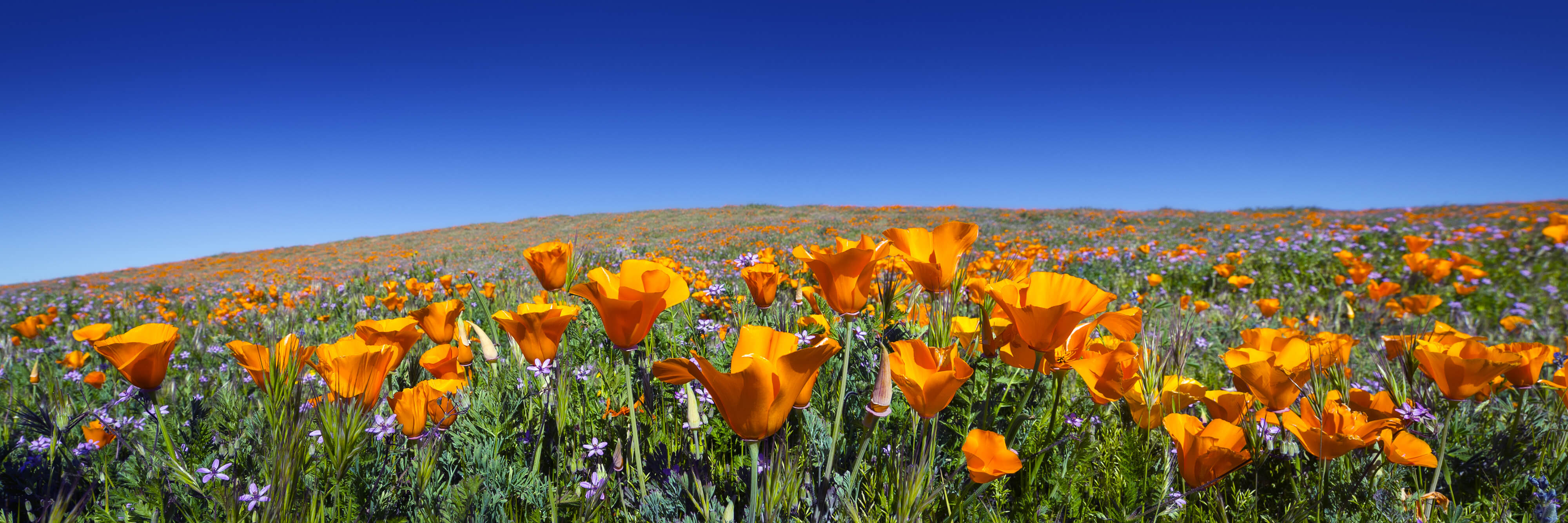 Wild California Poppies at Antelope Valley